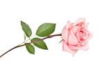 Pink rose - Fine Art prints