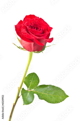 canvas print picture rose isolated