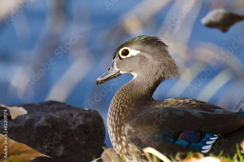 Profile of a Female Wood Duck