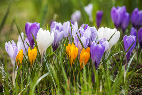 Group of garden crocus flowers