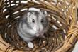 hamster in a basket