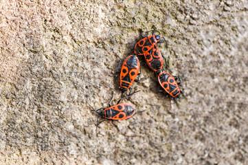 Macro photo of four fire bugs