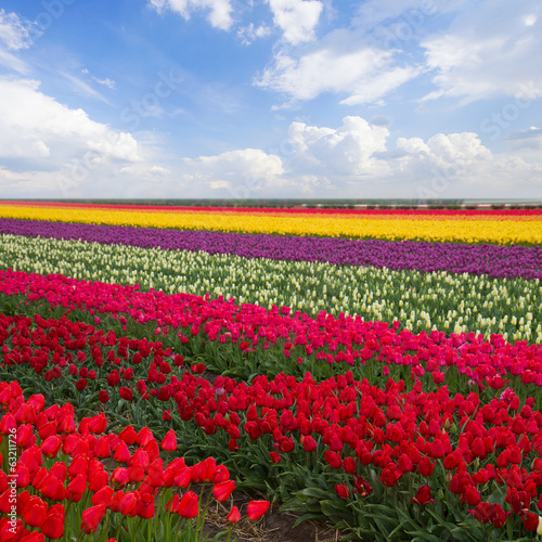 spring stripes of  tulips in sunny day
