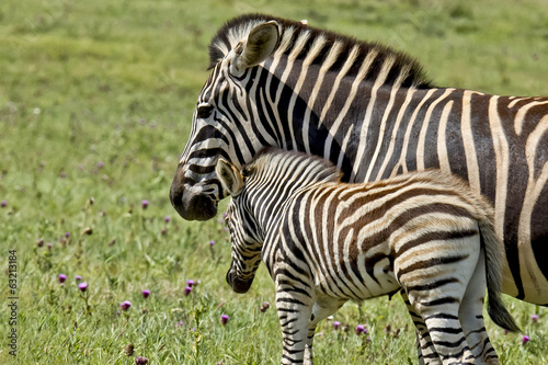 Zebra parent affection
