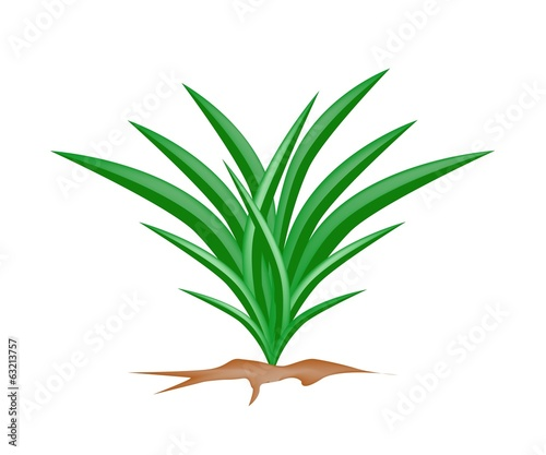 A Fresh Pandan Plant on White Background