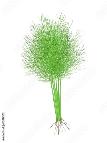 Fresh Green Dill on A White Background