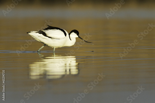 pied avocet  in the light of dawn / Recurvirostra avosetta