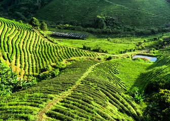 Tea plantation landscape. Chaing Rai province, Thailand