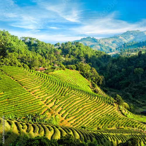 Tea plantation landscape under blue cloudy sky. Thailand