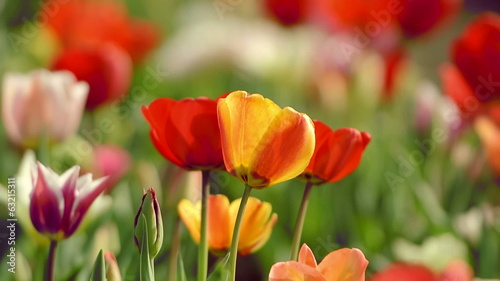 Beautiful tulips stands out in a vibrant field near Amsterdam