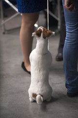 Rear view of a Jack russel terrier