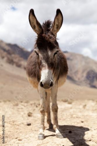 Poster Ezel Portrait of Donkey