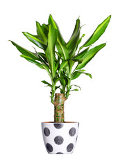 Houseplant - dracaena steudneri stemm a potted plant isolated ov