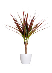Houseplant - dracaena marginata a potted plant isolated over whi