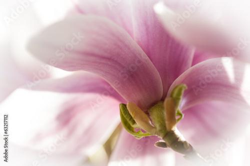 Staande foto Magnolia Magnolie