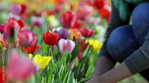 Woman hand picking fresh tulip flower near Amsterdam