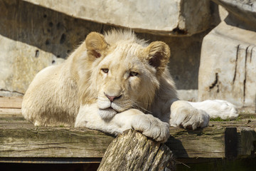 Witte leeuwin