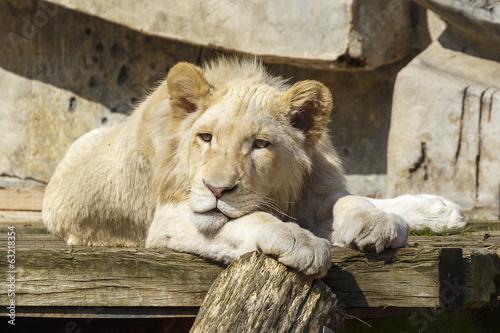 Poster Witte leeuwin
