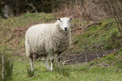 Sheep Mother Ewe in field