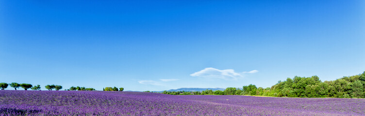 Panoramic view of lavender fields in Provence, France