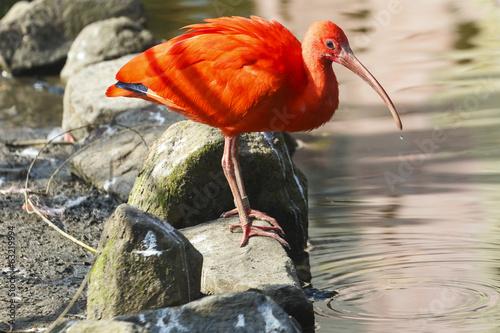 Poster Rode Ibis