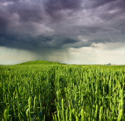 wheat field with dramatic stormy sky in the background