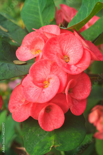 Crown of thorns flowers