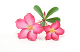 adenium, azalea, background, bignonia, botany, branch, bush, col poster