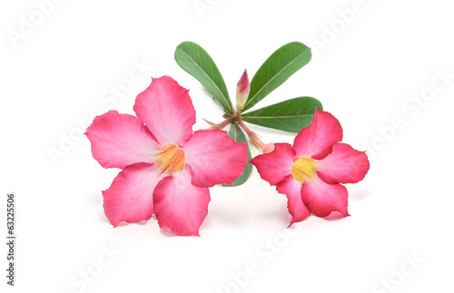 adenium, azalea, background, bignonia, botany, branch, bush, col