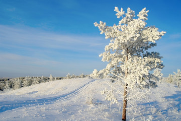 Lonely pine snow covered