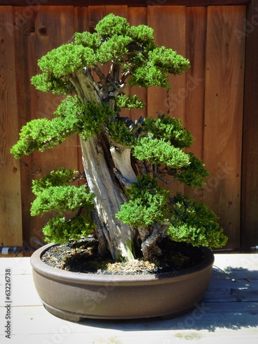 Bald Cypress bonsai tree at the nursery.