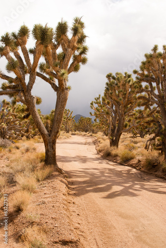 Joshua tree forest on stormy day