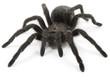 Leinwanddruck Bild - Tarantula Spider- Grammostola Pulchra