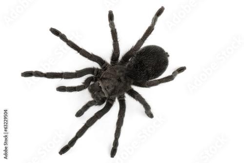 Fototapeta Black Spider- Grammostola Pulchra