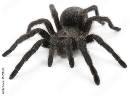 Tarantula Spider- Grammostola Pulchra - 63229508