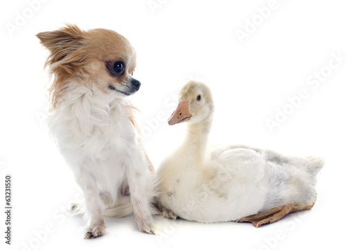 gosling and chihuahua