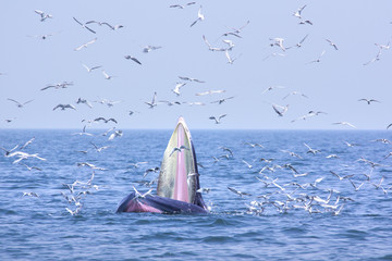 bryde whale and seagull