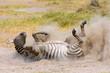 Plains Zebra in dust, Amboseli National Park