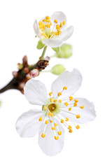 Branch of white spring blossom, isolated on a white background