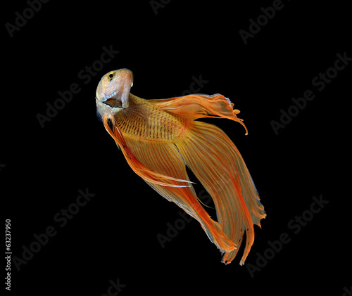 betta fish isolated on white background