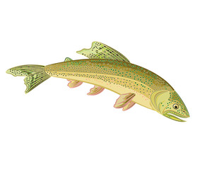 American brook trout (Salvelinus fontinalis)