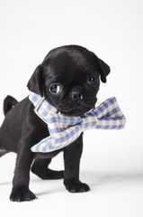 Puppy with a bow tie