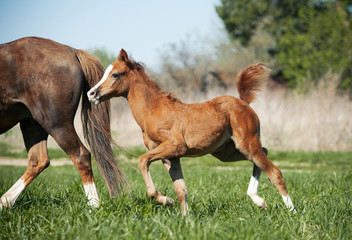 foal running to for mother
