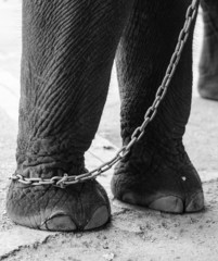 chained elephant leg