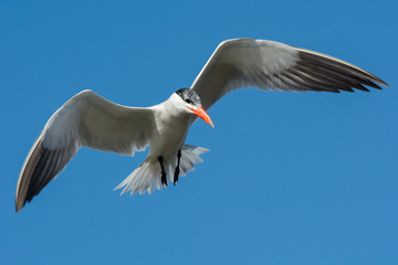 Caspian Tern hovering in flight
