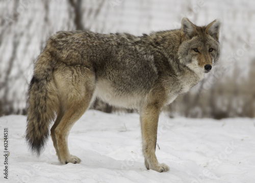 Winter Coyote