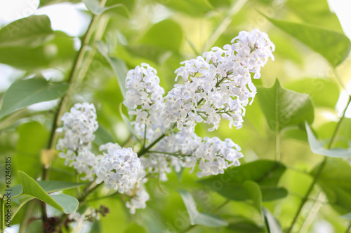 Lilac flowers closeup
