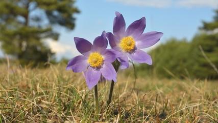 Rare Spring Flower Pulsatilla montana