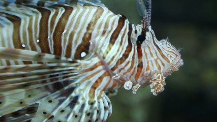 lionfish zebrafish underwater close-up