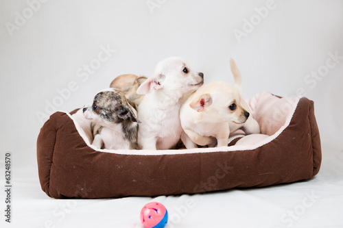 Small purebred puppies